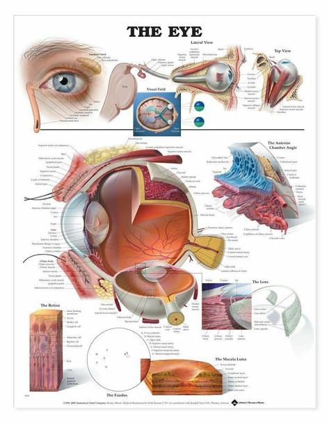 The Eye Laminated Anatomical Chart