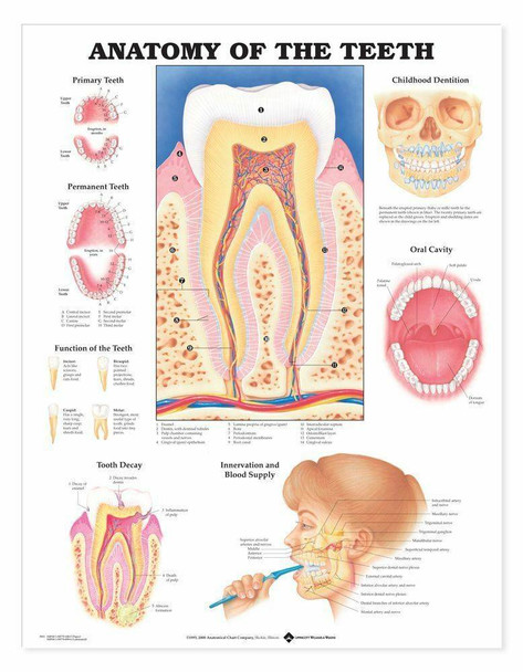 Anatomy Of The Teeth Laminated Anatomical Chart