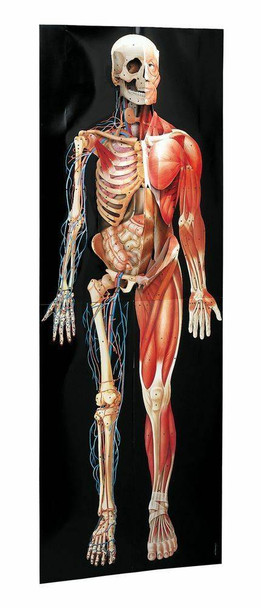 Dimensional Man Raised Relief Anatomical Chart
