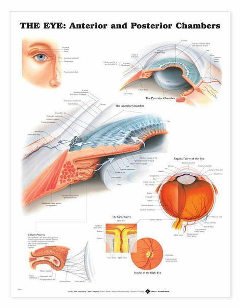 The Eye Anterior and Posterior Chambers Laminated Anatomical Chart