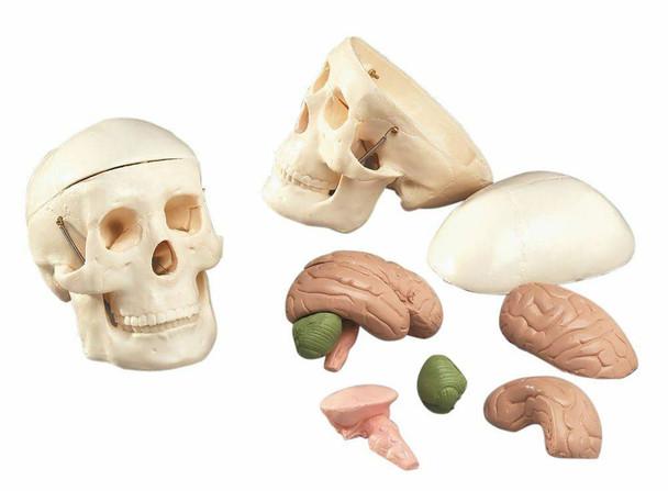 Mr Thrifty Skull With 8 Parts Brain Anatomy Model