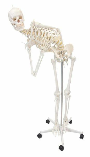 Flexible Physiotherapy Skeleton Anatomy Model
