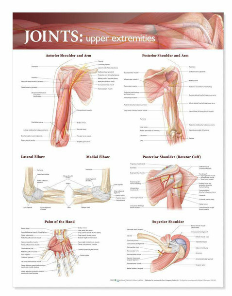 Joints Of The Upper Extremities Laminated Anatomical Chart