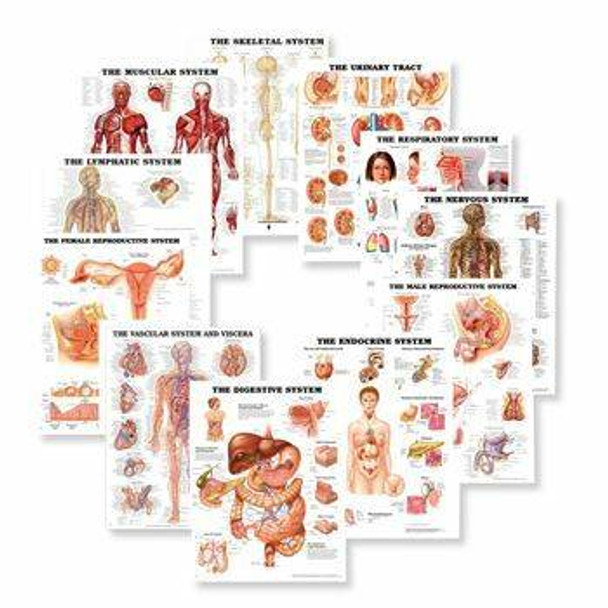 Systems of the Body Laminated Anatomy Chart Set
