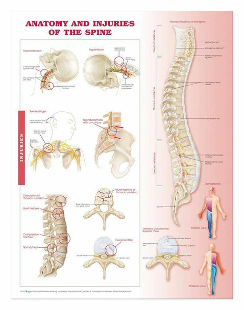Anatomy and Injuries of the Spine Laminated Anatomical Chart