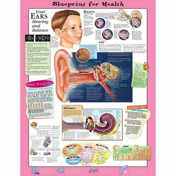 Your Ears Laminated Anatomical Chart