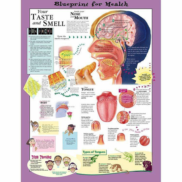 Your Taste and Smell Laminated Anatomical Chart