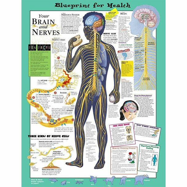 Your Brain and Nerves Laminated Anatomical Chart