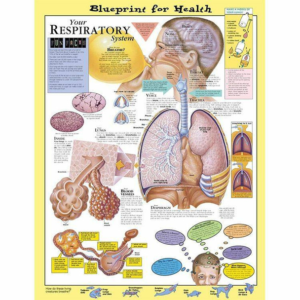 Your Respiratory System Laminated Anatomical Chart