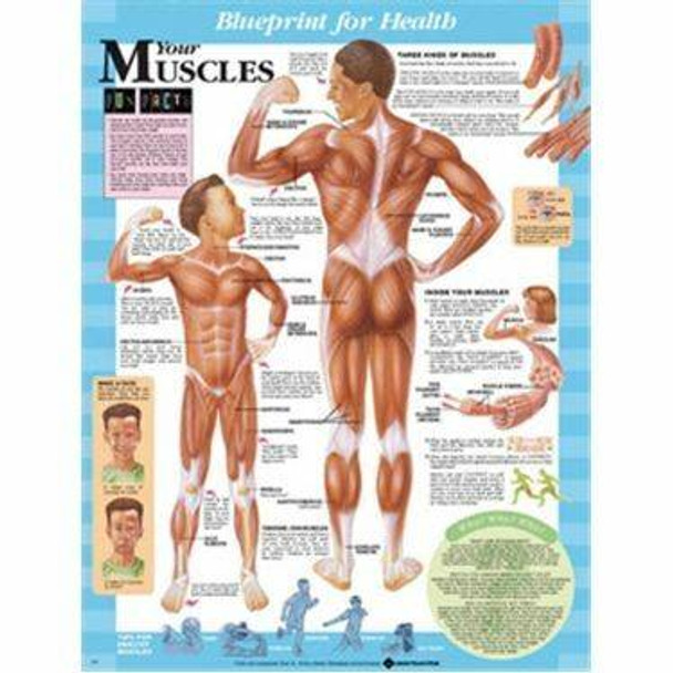 Your Muscles Laminated Anatomical Chart