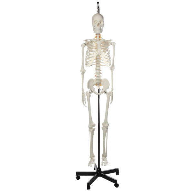 Axis Scientific Classic Human Skeleton with Study, Numbering Guide, and Hanging Stand
