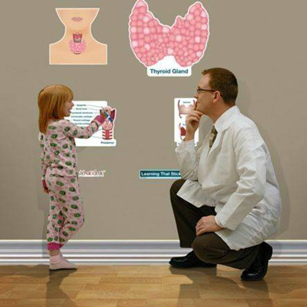Simplified Thyroid Labeled Anatomy Dry-Erase Sticky Wall Chart - 27 in x 40 in