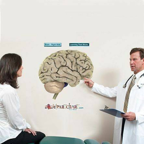 Right Side of Brain Anatomy Dry-Erase Sticky Wall Chart - 27 in x 40 in