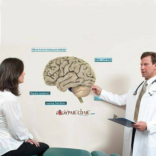 Left Side of Brain Anatomy Dry-Erase Sticky Wall Chart - 27 in x 40 in