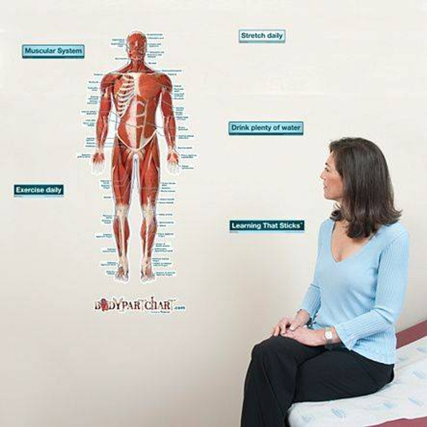 Anterior Muscular System Labeled Anatomy Dry-Erase Sticky Wall Chart