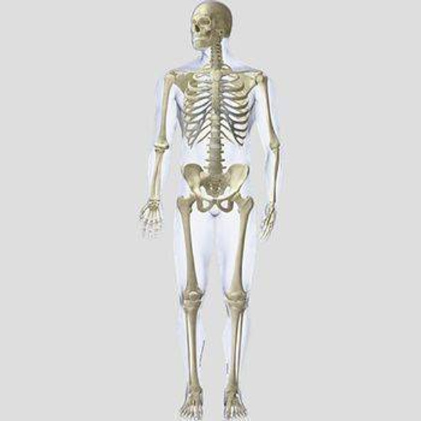 Anterior Skeletal System Anatomy Dry-Erase Sticky Wall Chart - 24 in x 30 in