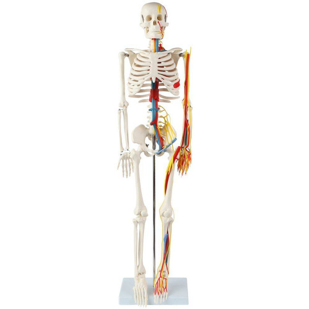 Anatomy Lab Miniature Human Skeleton with Nerves, Veins and Arteries