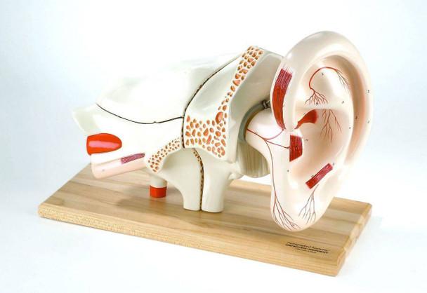 Deluxe Eight Part Ear Anatomy Model