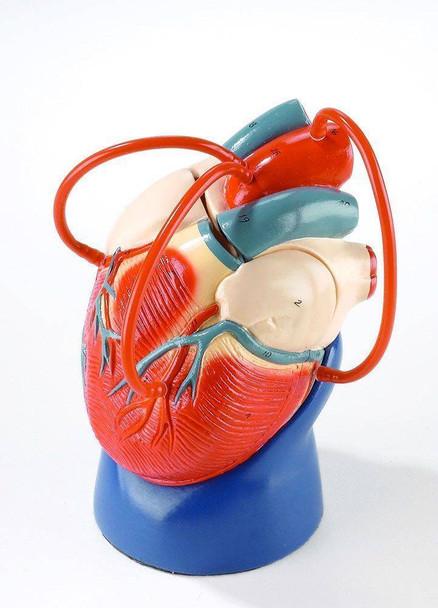 Coronary Bypass Heart Anatomy Model