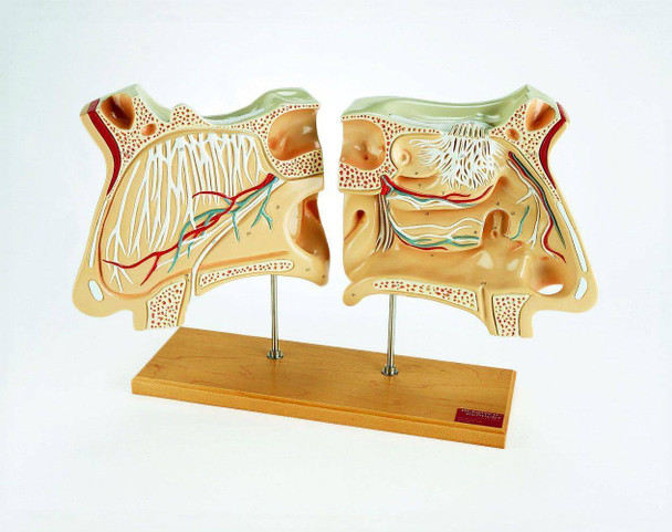 Nose and Olfactory Organ Anatomy Model Set