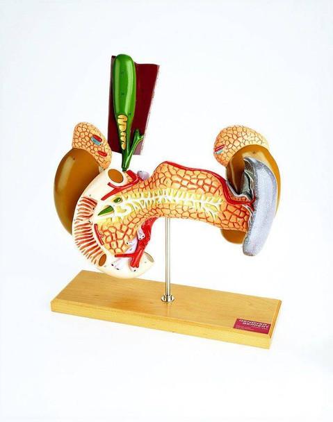 Internal Organs Anatomy Model