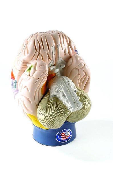 Giant Functional Center Brain Anatomy Model