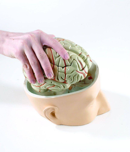 Base Of Head With 7 Part Brain Anatomy Model