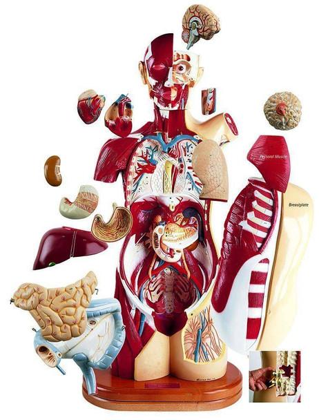 36 Part Multi Torso Anatomy Model Male Female Sexless and Pregnancy Configuration