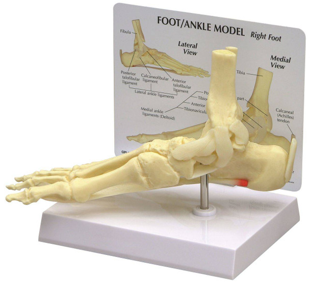 Foot and Ankle Anatomy Model