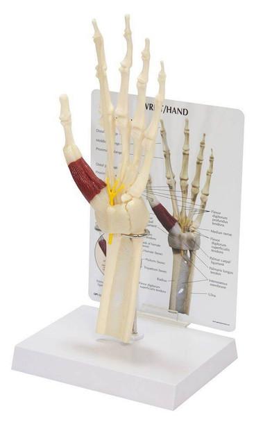 Wrist and Hand Anatomy Model