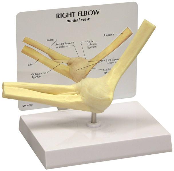 Basic Elbow Joint Anatomy Model