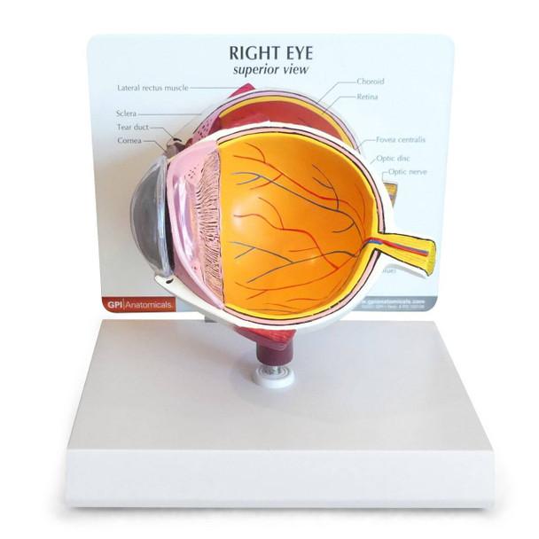 Cutaway Eye Anatomy Model
