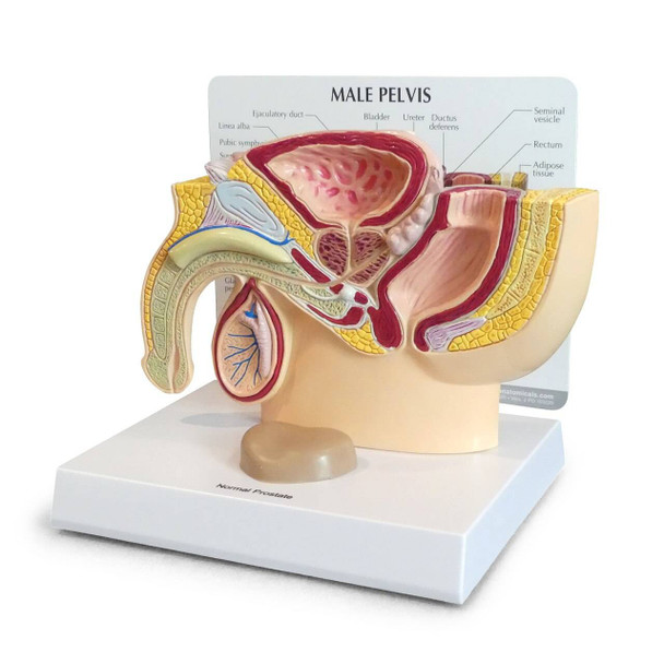 Basic Male Pelvis Section Anatomy Model