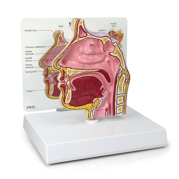 Basic Sinus Anatomy Model