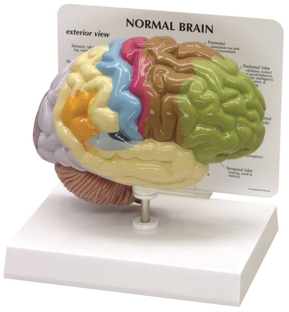 Half Brain Sensory and Motor Areas Anatomy Model