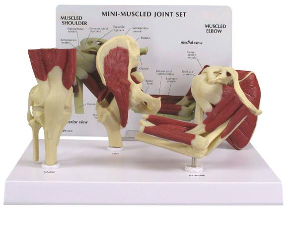 Mini-Muscled Joint Anatomy Model Set