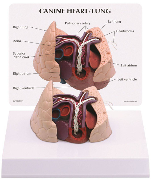 Canine Heart / Lung Anatomy Model
