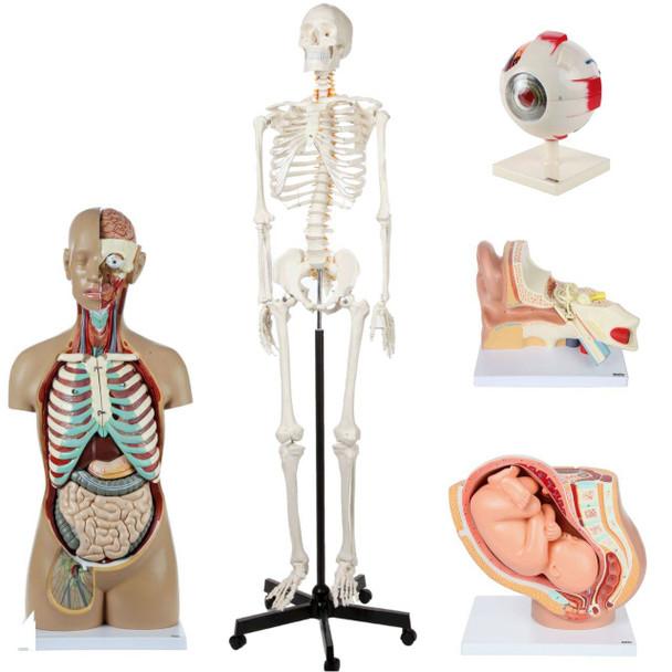 Axis Scientific School Anatomy Model Set