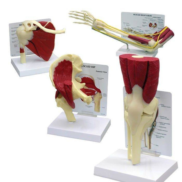 Muscled Joint Model Set