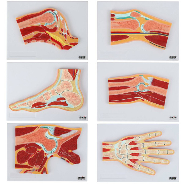 Axis Scientific Joint Cross Section Anatomy Model Set