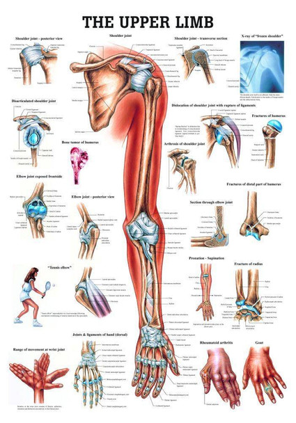 The Upper Extremity Laminated Anatomy Chart