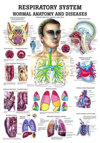 The Respiratory System - Normal and Diseased Laminated Anatomy Chart