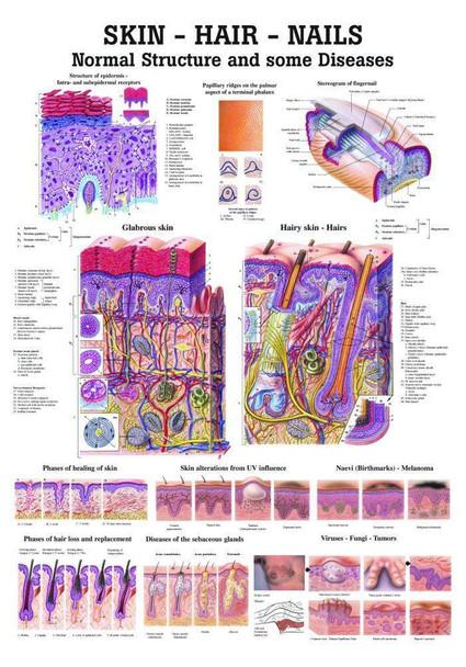 Skin, Hair and Nails Laminated Anatomy Chart
