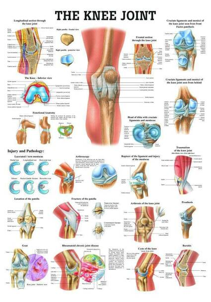 The Knee Joint Laminated Anatomy Chart