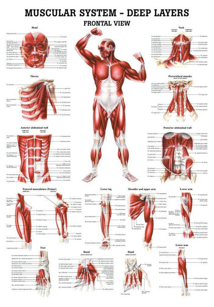 The Muscular System - Deep Layers, Front Laminated Anatomy Chart