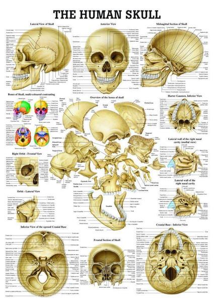 The Human Skull Laminated Anatomy Chart