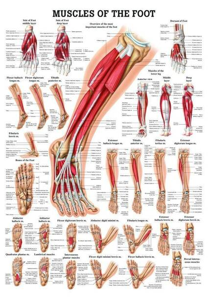 Muscles of the Foot Laminated Anatomy Chart