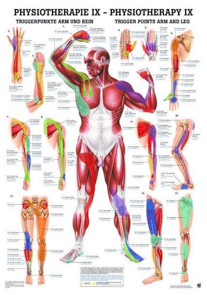 Trigger Points Arms and Legs Laminated Chart