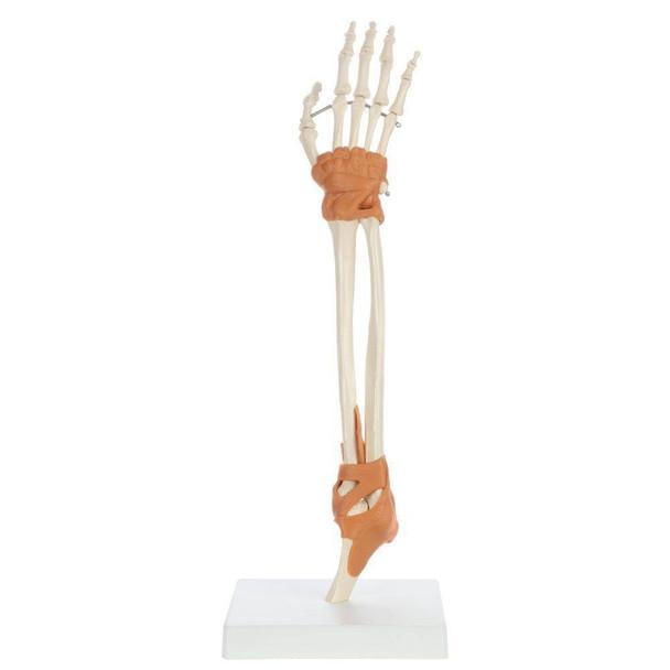 Rudiger Anatomie Premium Arm Skeleton with Full Hand, Ulna, Radius and Ligaments