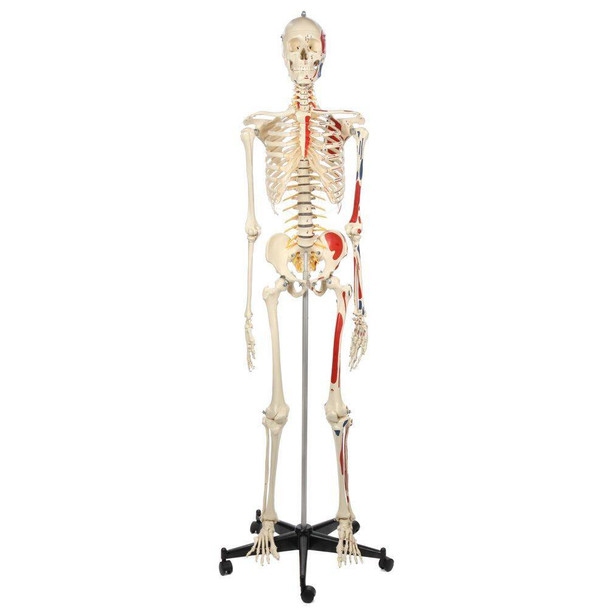 Rudiger Anatomie Premium Human Skeleton with Flexible Spine, Muscle Paintings, and Arteries